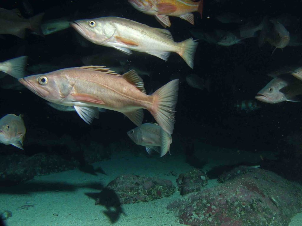 Bocaccio rockfish. Photo Chad King, NOAA